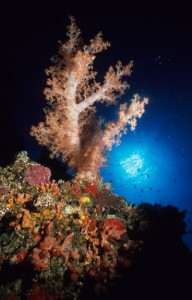Large Soft Tree Coral (Dendronephthya rubeola) against the sun, Jessie Beazley Reef, Sulu Sea, Palawan, Philippines.
