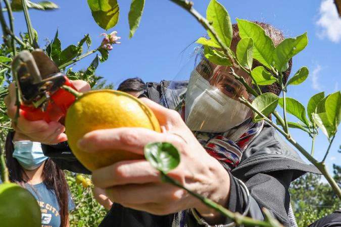 Armandos Lemon Farm