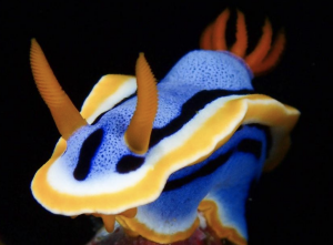 Nudibranch, photo by Ronald Dalawampu from Philippines
